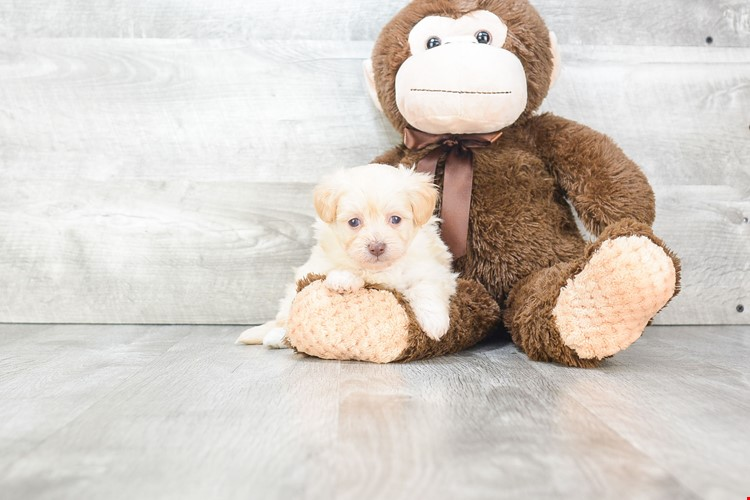 What is Maltipoo Temperament and What are their Main Characteristics?